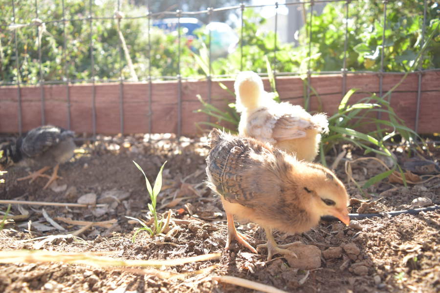 baby chicks outside