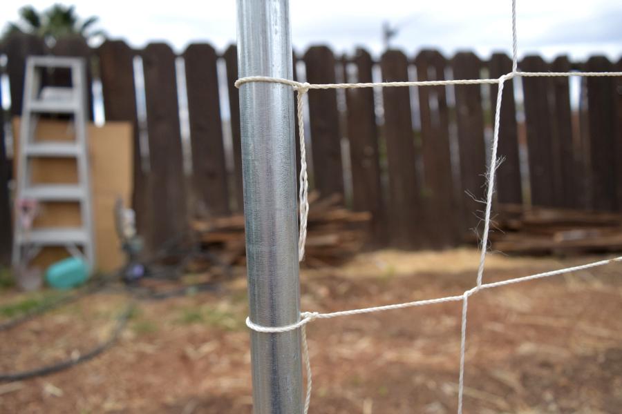 tomato trellis string on the side tied