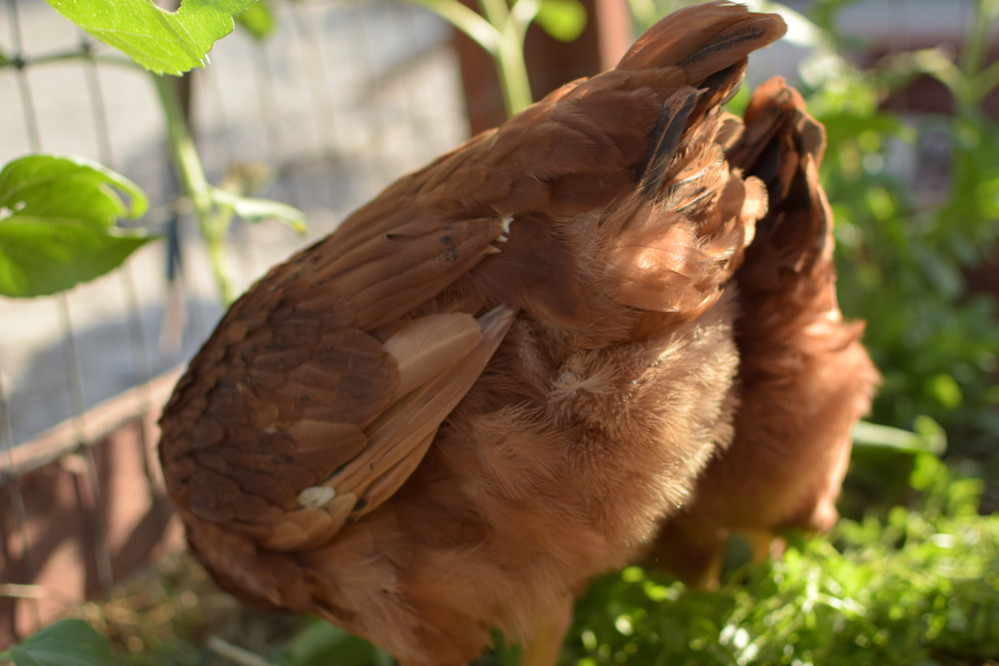 healthy chickens foraging