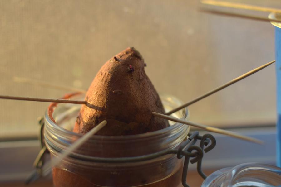 sweet potato sprouting